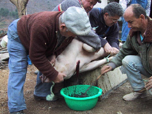 Cochon saignée
