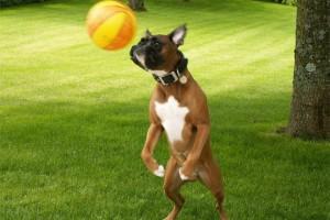 chien-joueur-foot-401122
